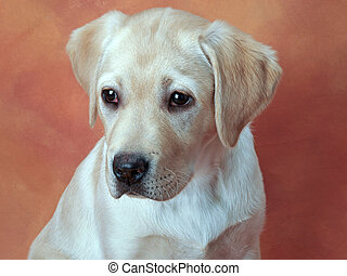 Yellow Labrador Retriever Puppy - portrait of a Yellow...
