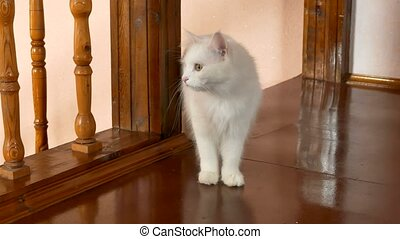 White fluffy cat is in the room near the wooden stairs -...