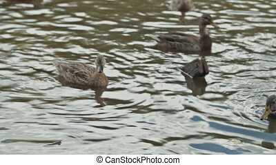 Ducks in water of lake, HD