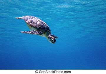 Green sea turtle - A Green sea turtle swimming in the blue...