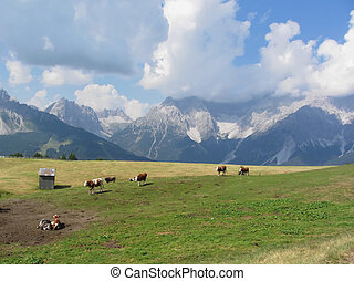 Alpine pasture with cows in foreground and view of Sesto...