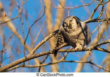 Focus on a vole - The Northern Hawk Owl (Surnia ulula) is a...
