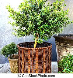 Myrtle tree in a rusty basket Vintage style garden...