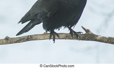 Crow's Paws On Branch - Raven's feet on a branch in winter