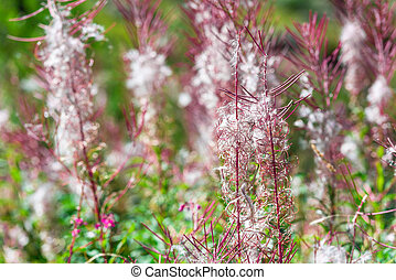 Fluffy pink fireweed flowers Close up shot