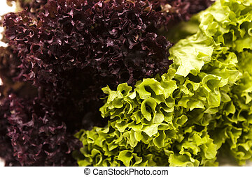 Green fresh bunch of a lollo rosso and lettuce on a white...