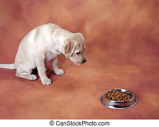 puppy waiting to eat - yellow Labrador retriever puppy...