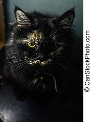 cat, black