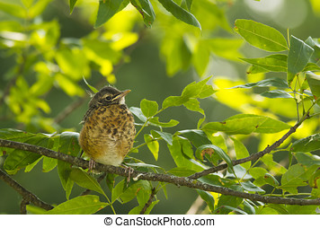 Fledgling Robin - This fledgling Robin perched in the...