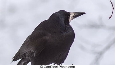 Black Crow Looks Around  - Raven on a Branch looking around