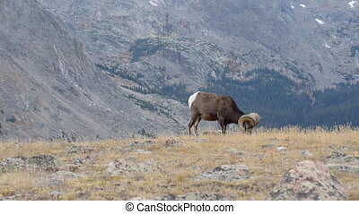 Wild Bighorn sheep Ovis canadensis Rocky Mountain Colorado -...