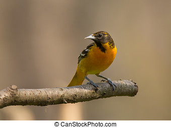 Baltimore Oriole - A beautiful Baltimore Oriole perches on a...
