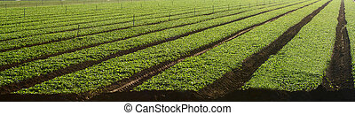 Field of micro-greens in the agricultural belt of central...