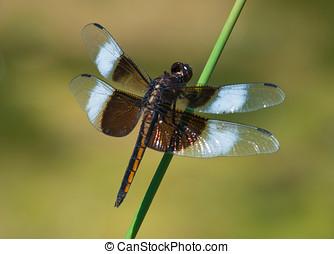 Widow Skimmer - A beautiful juvenile Widow Skimmer rests on...