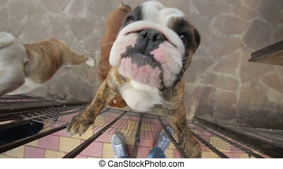happy english bulldog jumping on camera - happy english...