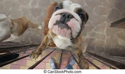 happy english bulldog jumping on camera - happy english...