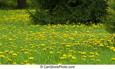 Meadow of Dandelions - a lot of dandelions on the lawn