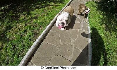 Bulldog Running in Slow Motion - Two eanglish bulldog...
