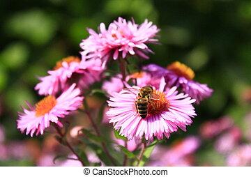 bee sits on the asters - bee sits on the aster and...
