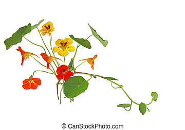 Nasturtium Flower in orange and yellow color isolated on...