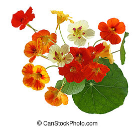Colorful Nasturtium Flower - Colorful of nasturtium flower...