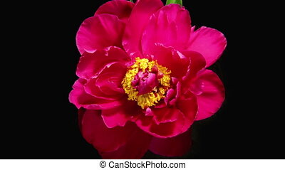 Peony Flowering Timelapse 4k - Isolated Flower blooming...