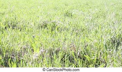 A man walks barefoot through the grass