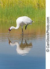 Whooping Crane Foraging for Food - crane; whooping; bird;...