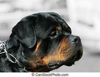 Rottweiler dog portrait - Rottweiler dog outdoor portrait...