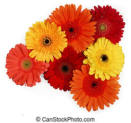 gerber daisies - yellow, red and orange gerber daisies on...
