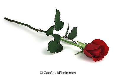 rose on white - single red rose on white background