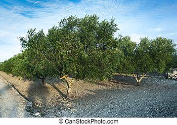 橄欖, 樹,  colture