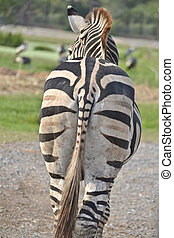 Zebra Buttock - Common zebras from behind stock photo