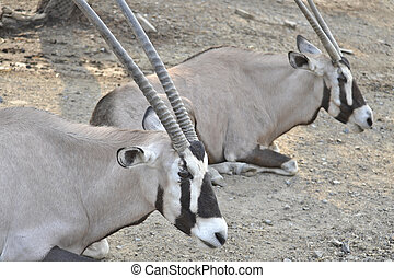 Oryx And Friend - Oryx and friend are relaxing