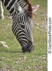 Zebra Head - Zebra graze in field