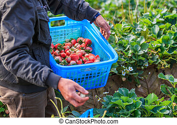 Workers were picking strawberries in the garden