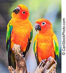 Sun Conure Parrots,