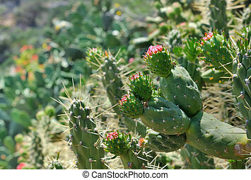 prickly blooming - close on prickly pear being bloom