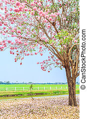 Pink flowers Tabebuia rosea blossom in Nakhon Pathom...