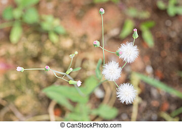 Emilia Sonchifolia plant - Cupids shaving brush plant or...