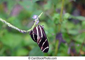zebra longwing butterfly - beautiful zebra longwing...