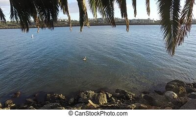 Pelican swimming in marina del rey los angeles California