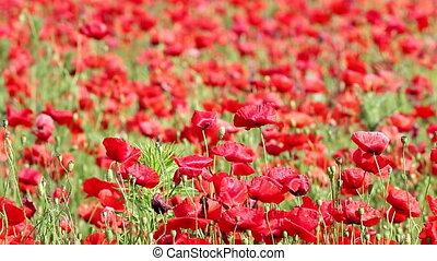 red poppy flowers spring season