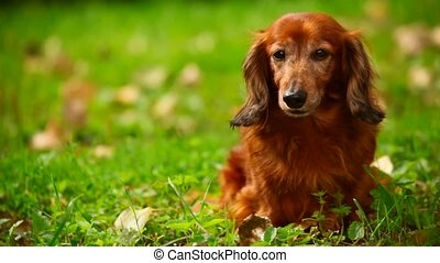 dog sitting on green grass, front