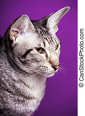 cat - Oriental cat breed on a purple background