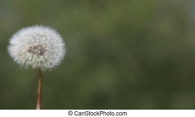 Dandelion blown by the wind