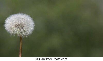 Dandelion blown by the wind