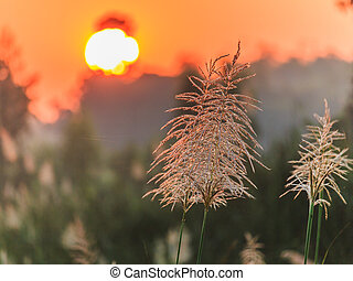 reed grass closeup on foggy morning - reed grass on foggy...