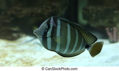 Red Sea sailfin tang - Zebrasoma desjardinii the fish family...