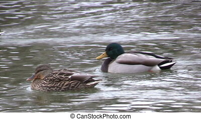 Mallard Hen and Drake - a hen and drake mallard swimming